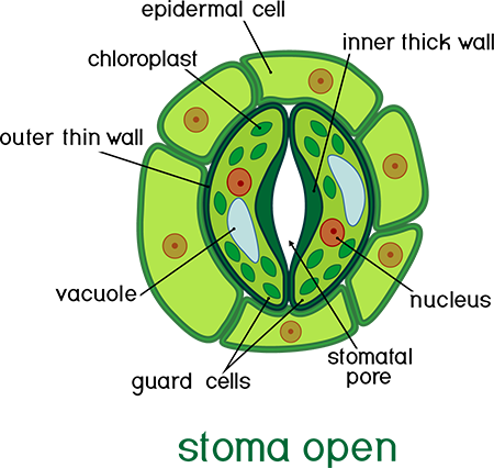 Stoma Open